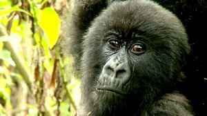 Mountain gorillas of Central Africa slowly increase in number [Video]