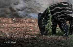 Endangered Malayan tapir born in British zoo [Video]
