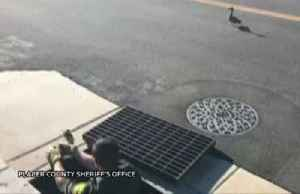 Sheriff's department rescues baby ducks stuck in drain [Video]