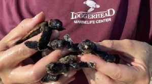 Loggerhead Marinelife Center breaks all-time sea turtle nest count record [Video]