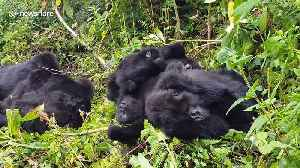 This family of wild mountain gorillas is too cute [Video]