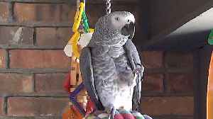 Talking parrot flawlessly imitates the sound of water [Video]