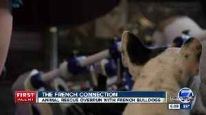 Boulder animal rescue that only takes in French bulldogs says it has run out of money [Video]