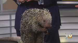 Wild Wednesday: Prehensile-Tailed Porcupine [Video]