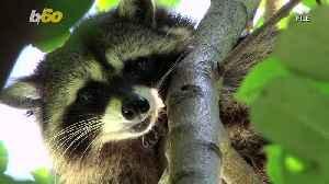 Operation Rescue Raccoon! Florida Police Free Raccoon Stuck in Vending Machine [Video]