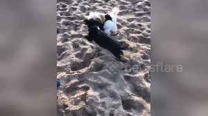 Cute playful puppies take out girl on the beach [Video]
