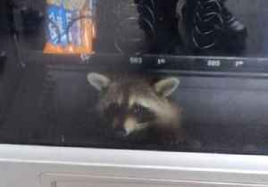 Officers Release Snack-Stealing Raccoon Trapped in Vending Machine [Video]