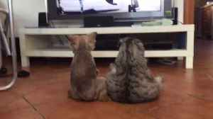 News video: Dog & cat sit like humans to watch TV together