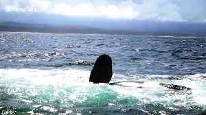 Epic battle between two killer whales in South Africa [Video]