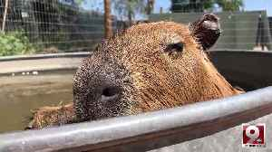 Play with capybaras, porcupines and kangaroos at Tucson's Funny Foot Farm [Video]