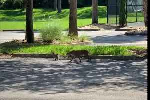 Bobcat and 2 Kittens Take a Stroll Around Port St Lucie Golf Course [Video]