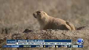 Plague results in mass die-offs in Weld County prairie dog colony [Video]