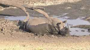 Mud, glorious mud! Huge rhino bathes in South African watering hole [Video]