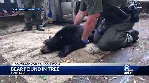 Young black bear found in Harrisburg [Video]