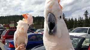 Hilarious cockatoos have a party in the parking lot [Video]