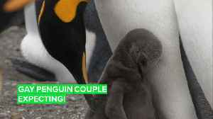 Egg Watch: A gay penguin couple is expecting [Video]