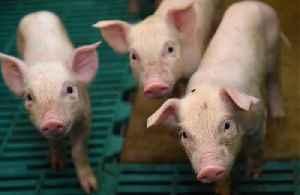 Famers jailed for smuggling pig semen in shampoo bottles [Video]