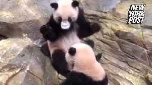 This is what it looks like when panda bears fight [Video]
