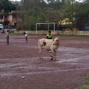 Cow soccer player can bend it like Beckham [Video]