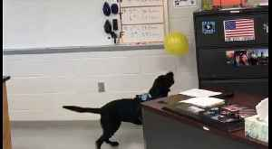 School K9 Officer Proves He's a 'Normal' Dog During Balloon Playtime [Video]