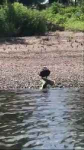 Bald Eagle Drags Live Musky Fish Out of River to Its Bank [Video]