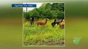 South Jersey Police Officer Wrangles Alpacas [Video]