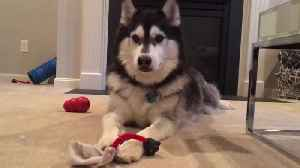 Husky throws fit after owner decides not to play with him [Video]