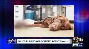 Dog found 'intentionally' injured euthanized [Video]