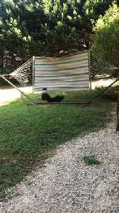 Border Collie Struggles to Fetch Stick Thrown Over Hammock [Video]