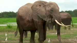 Elephants and sharks high on agenda at CITES wildlife convention in Geneva [Video]