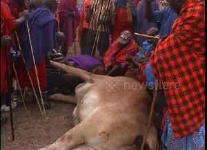 Maasai men drink fresh blood from cow to mark 'ascension' to elderhood [Video]