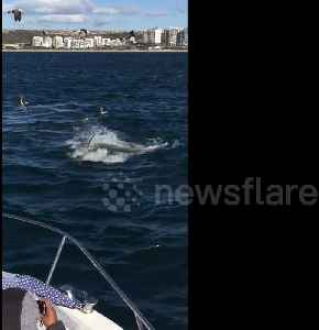 Terrifying footage shows great white sharks hunting seals off Mossel Bay, South Africa [Video]