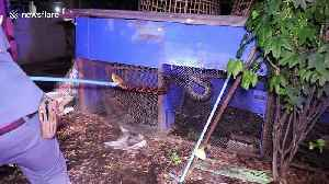 Thai firemen catch 16ft python after it killed gamecock worth thousand pounds [Video]