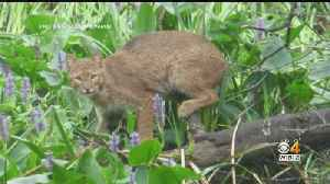 Pet Owners Concerned After Bobcat Spotted In West Roxbury [Video]