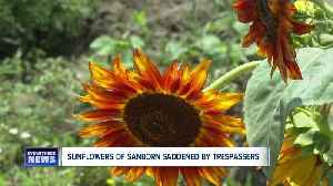 Sunflowers of Sanborn saddened by trespassers [Video]