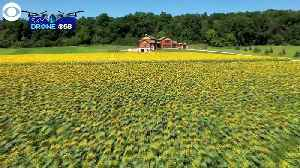 WEB EXTRA: Field of 500K Sunflowers [Video]