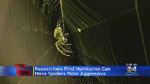 Hurricanes May Cause Spiders To Be More Aggressive, Study Says [Video]