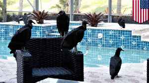 Vomiting, puking vultures take  over Florida neighborhood [Video]
