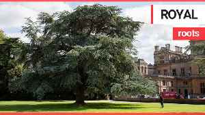 A tree stands as tall as a country house 100 years after it was planted by Queen Mary [Video]