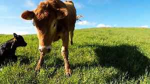 Mother cow warns cameraman to stay away from her newborn calf [Video]