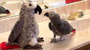 Sociable parrot makes friends with parrot stuffed animal [Video]