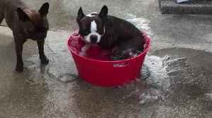 French Bulldog creates his own mini whirlpool [Video]