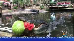 Alligator Chomps On Watermelon [Video]