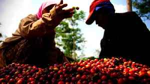 Indonesian coffee farmers struggle as prices hit 8-year low [Video]