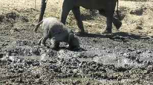 Playful baby elephant loves ploughing his face through the mud in South Africa [Video]