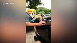 Thai man sparks panic after leaving his pet King Cobra in the back of pickup truck [Video]