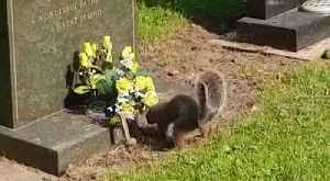 Squirrels wreck graveyard by munching flowers [Video]