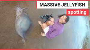 Beach-goers try to save a massive barrel jellyfish [Video]