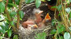 Feeding the Hungry Baby Birds [Video]