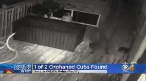 Orphaned Bear Cub In Pine Attack Found, Sent To Rehab Facility [Video]